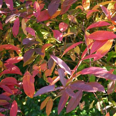 Virginia Sweetspire Itea virginica Henry's Garnet