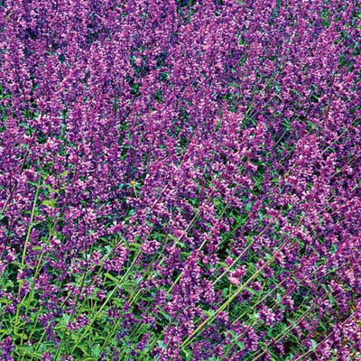 Catmint Nepeta racemosa Walker's Low
