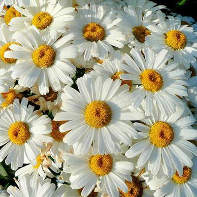 Shasta Daisy Leucanthemum x superbum Becky