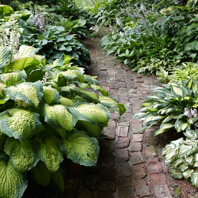 'Summer Serenade' and 'T-Dawg' hostas