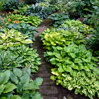 rustic woodland path with hosta borders