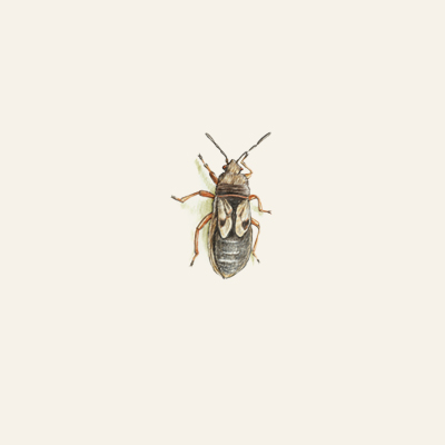 chinch bug spring lawn pest illustration