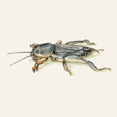 mole crickets fall lawn pest illustration