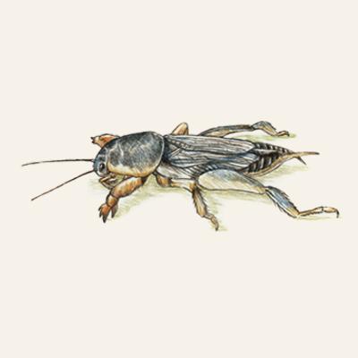 mole crickets fall lawn pest illustration