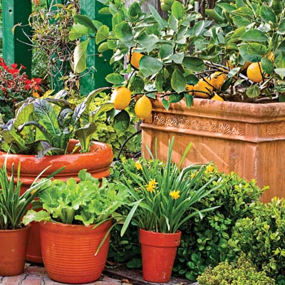 lemons, mustard greens and lettuce in a container garden
