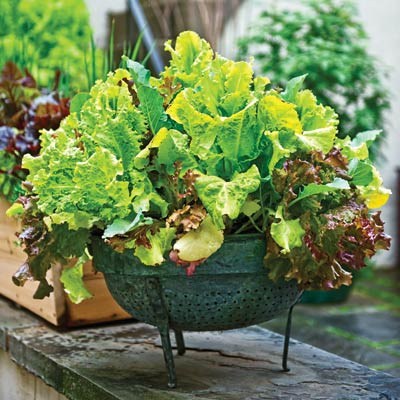 'red salad bowl' lettuce in a container garden