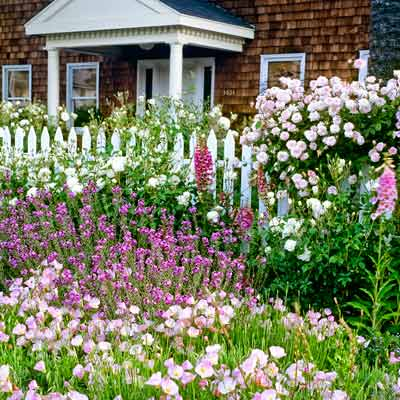 cottage garden with white fencing, pink Cecile Brunner' roses, purple shrubby wallflower and pink evening primrose