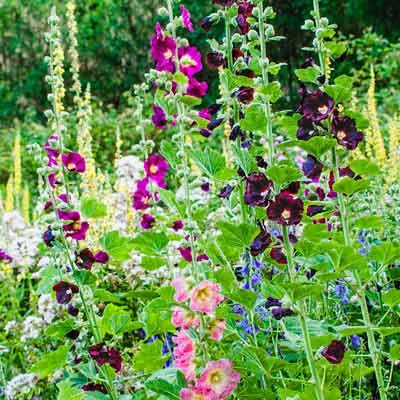 cottage garden with biennial hollyhocks