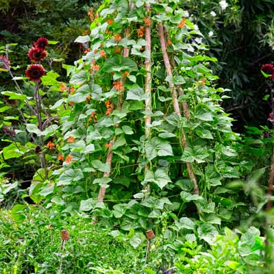 cottage garden with wood poles for climbing scarlet runner beans