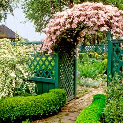 cottage garden with green wood fence and arbor with hawthorn shrub and clematis vine