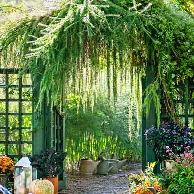 garden gate with arching larch (Larix pendular) with asparagus nearby in autumn garden
