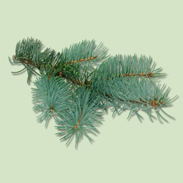 blue spruce, christmas tree buying guide
