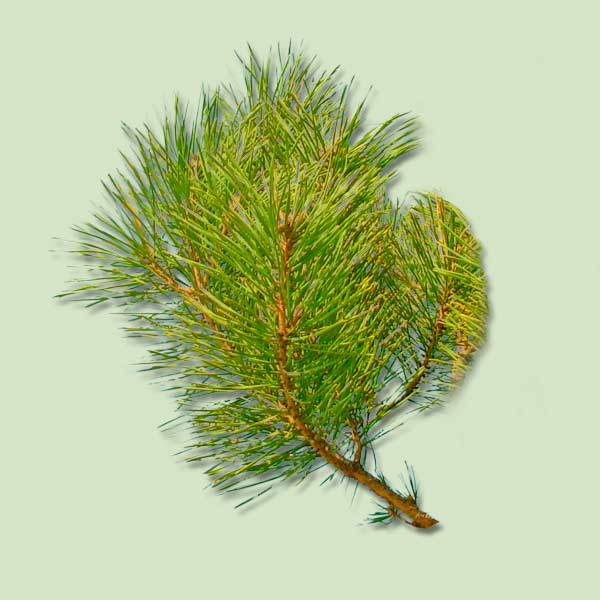 Scotch Pine, christmas tree buying guide
