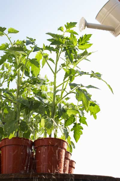 watering potted tomato plants, 10 uses