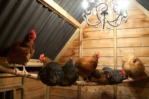 build a better chicken coop, chandelier inside chicken coop
