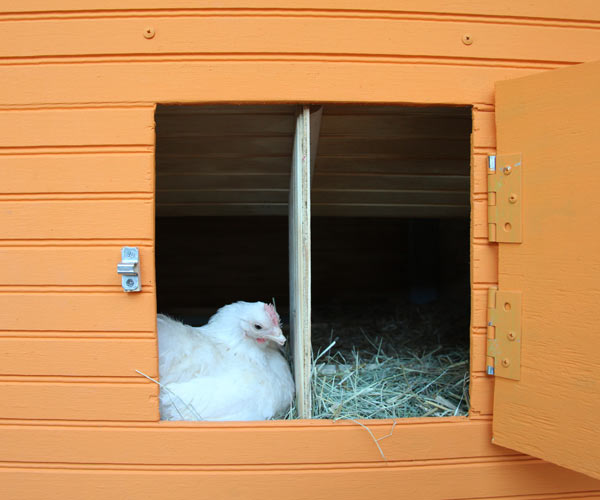 build a better chicken coop with metal latches to ward off predators