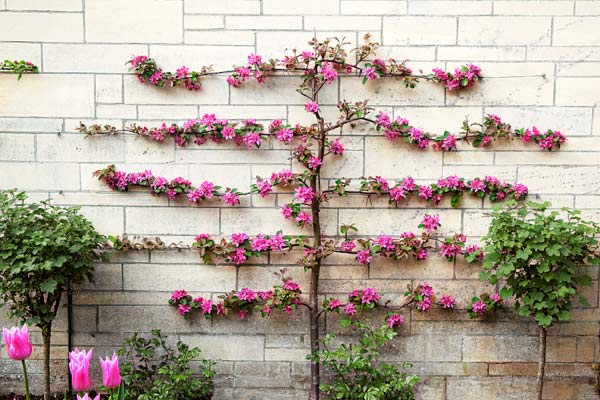 espaliered tree with pink blossoms pruned to grow horizontally across white stone wall
