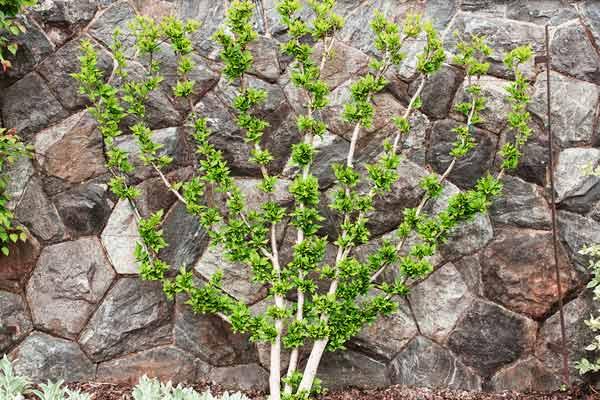 espaliered tree pruned into a fan shape
