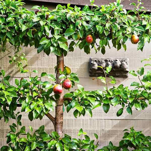 espaliered pear train pruned horizontally against wall to make fruit easy to pick