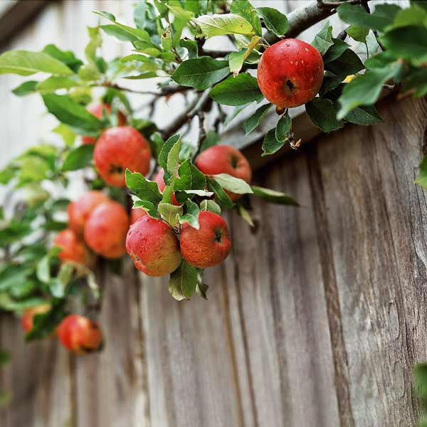red apples espaliered on fence