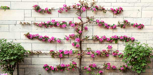 espaliered tree with pink blossoms pruned to grow horizontal against stone wall