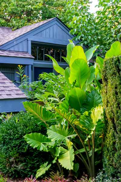 yard with outdoor rooms, evergreen, portodora elephant's ears, musifolia canna