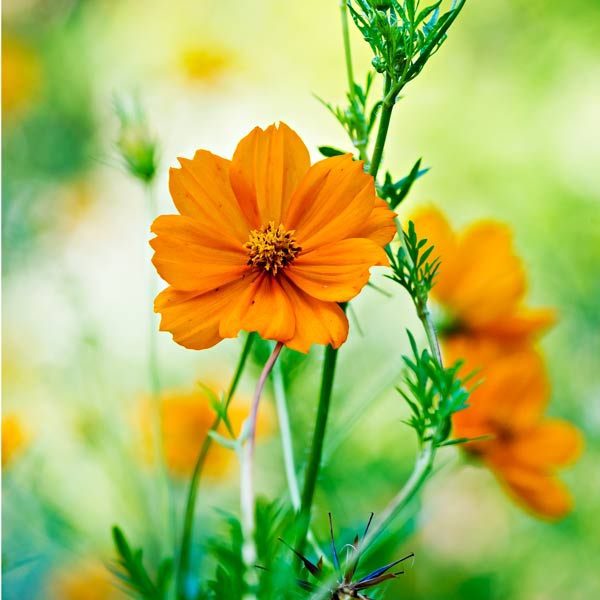 yard with outdoor rooms, suphur cosmos annual flower