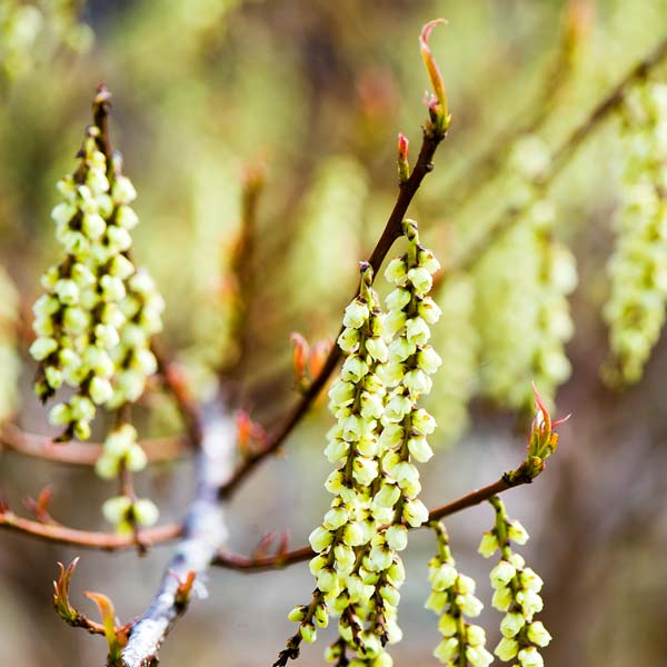 yard with outdoor rooms, Spiketail (Stachyurus praecox)