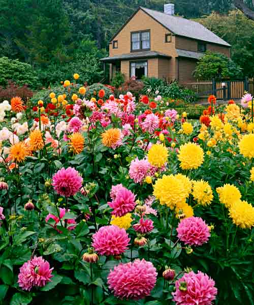 yard with brightly colored dahlias