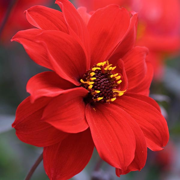 dahlia 'Bishop of Llandaff' with red flowers and black foliage
