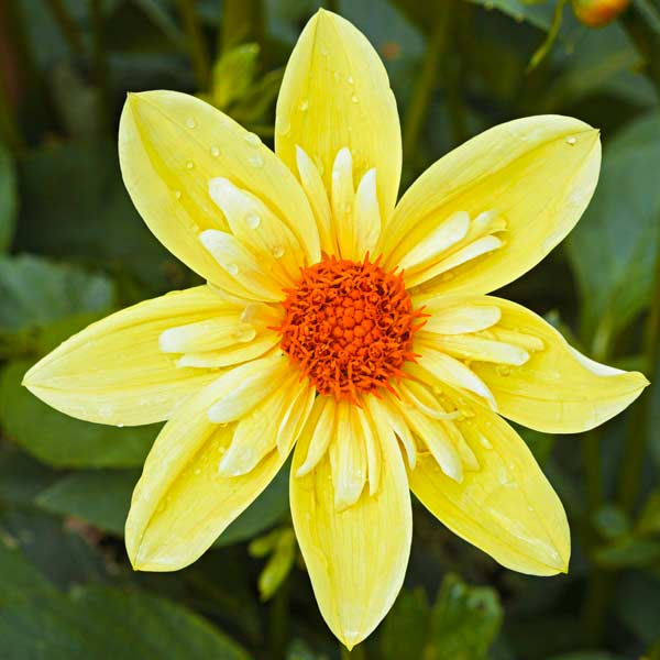 dahlia heirloom 'Clair de Lune' good for potted planting