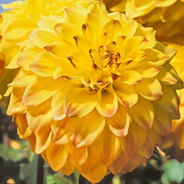 dahlia gold color 'Hy Clown'