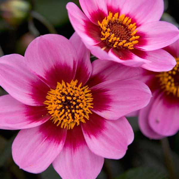 dahlia 'Happy Single Wink' with daisy like flowers