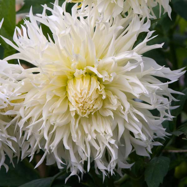 dahlia 'Tsuki Yori No Shisha' with white flowers