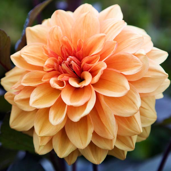 dahlia 'David Howard' apricot color bloom and dark purple foliage