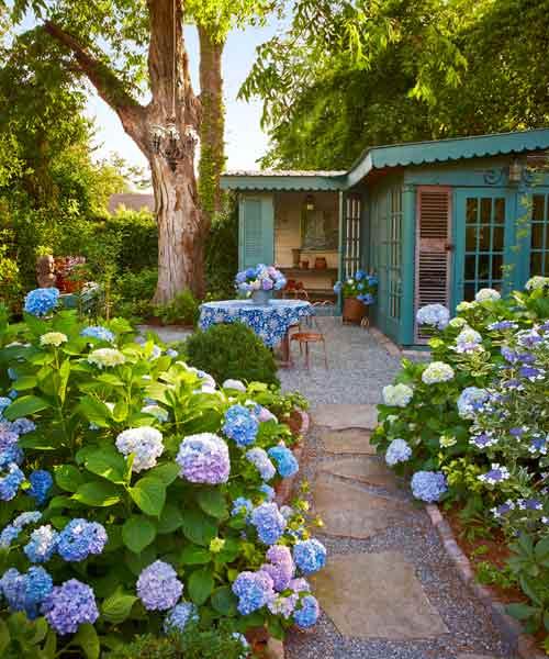 garden path lined with hydrangeas, all about hydrangeas