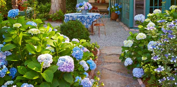 garden pathway with hydrangeas