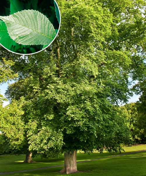 Pick A Tree Valley Forge Elm All About Shade Trees