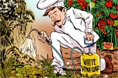 drawing of person dressed as a chef in a garden spraying plants from a spray bottle labeled white vinegar