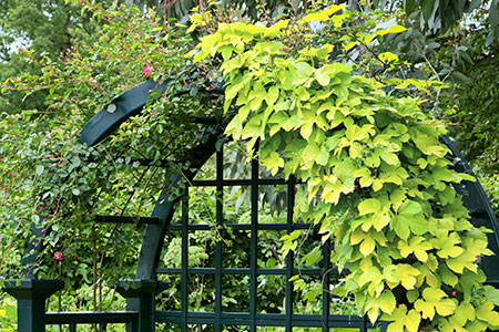 hops vine climbing on a garden-bench trellis surround