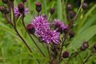New York ironweed wildflower