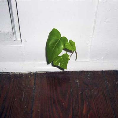 Vine growing inside the house