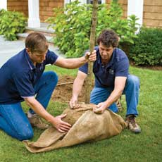 Men wraping burlap sack around tree