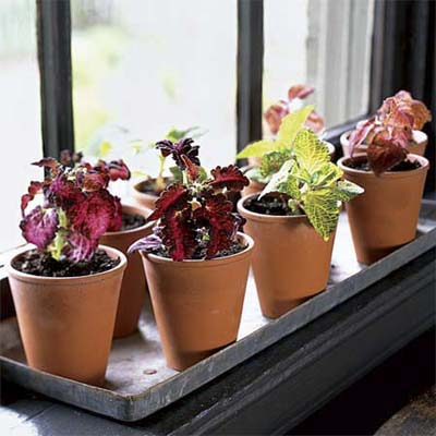 easy to propagate variegated coleus outdoors with inset of potted cuttings indoors