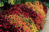easy to propagate variegated coleus outdoors