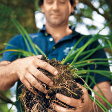 hands holding the root ball of a daylily ready to divide