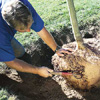 loosening the densely packed soil when planting a new tree
