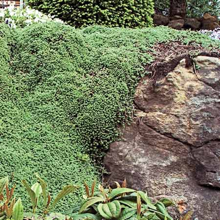 woolly thyme species of moss