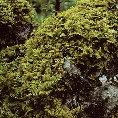 fern moss