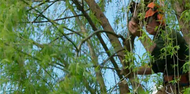 pruning a large tree from the upper branches